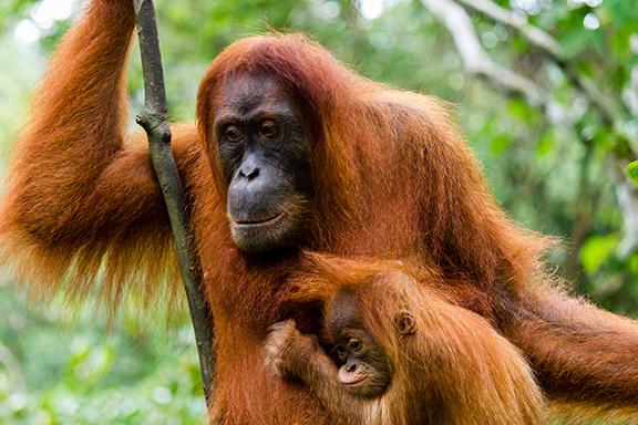 Sumatra: Im Gunung Leuser-Nationalpark zu Besuch bei den Orang-Utans