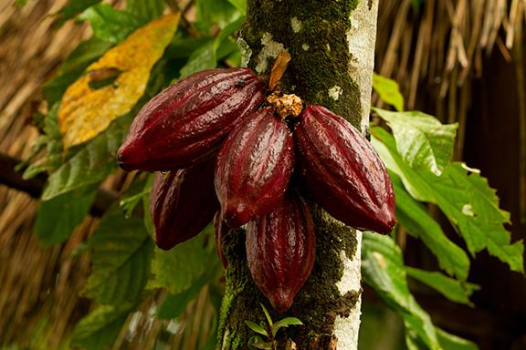 Auf der Spur des Kakaos im Tirimbina Reservat
